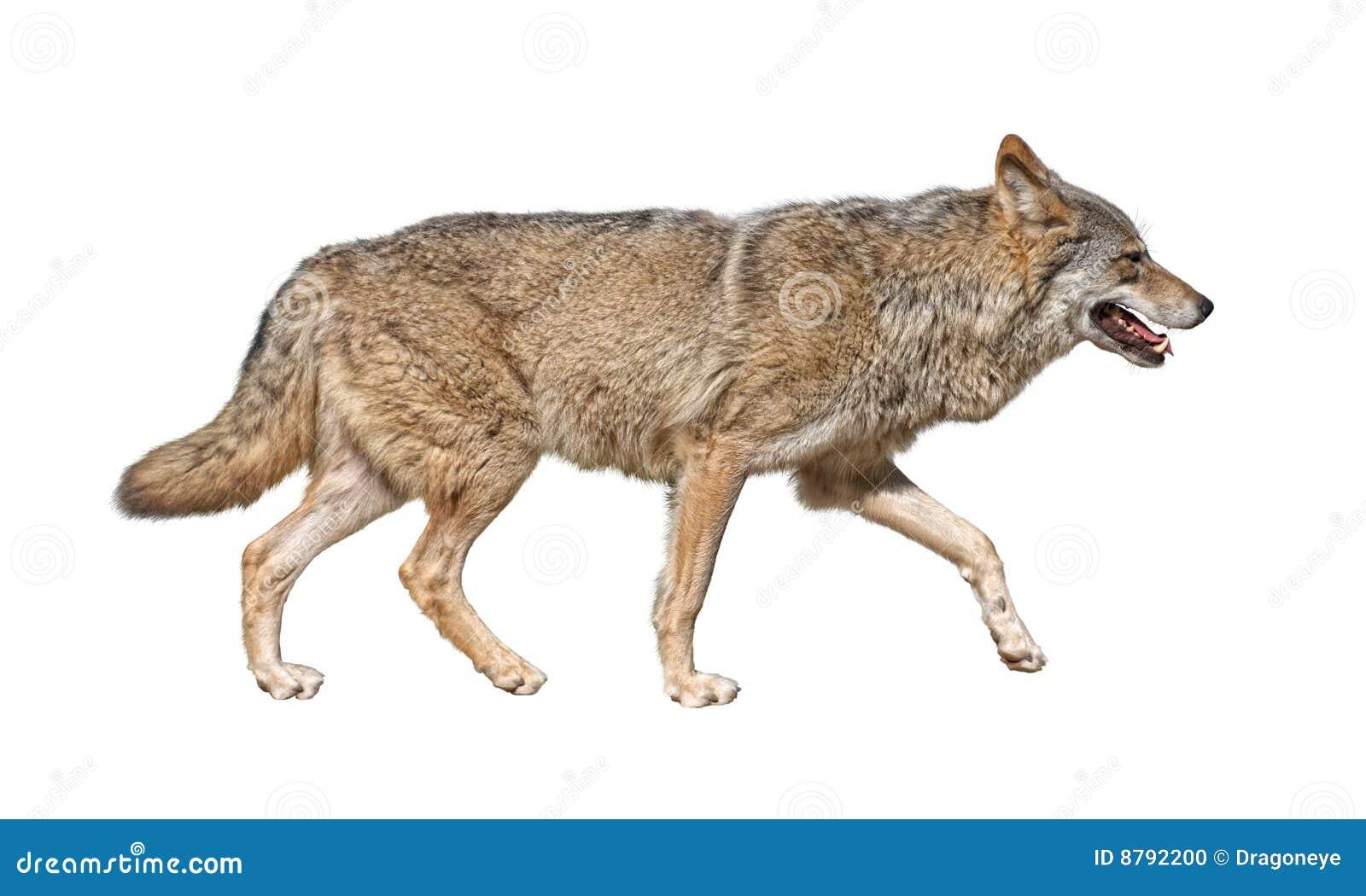 Recorte corriente del lobo