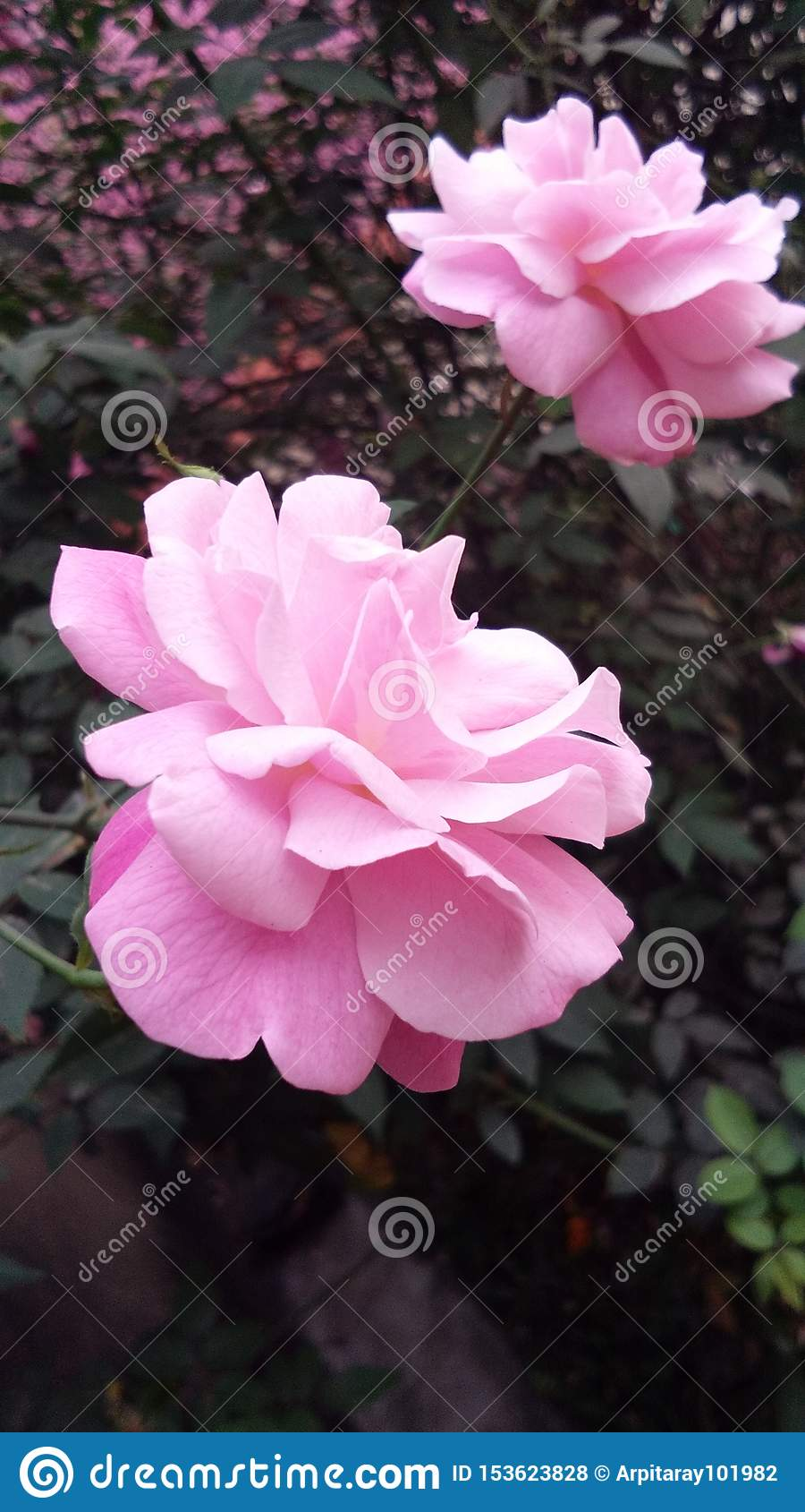 The recreating beauty of rose