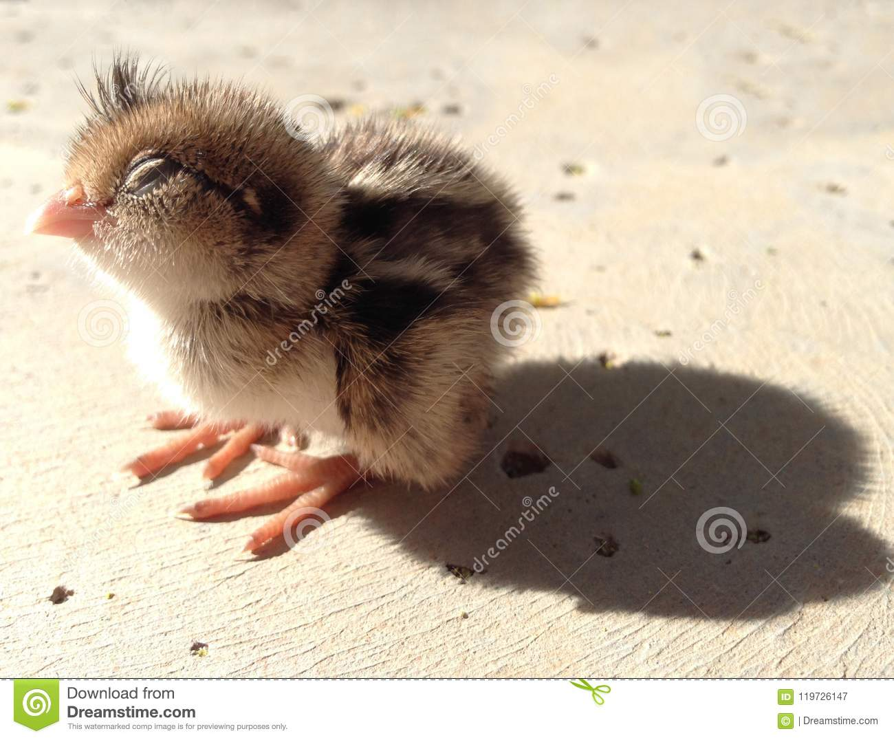 Baby Quail With Eyes Closed Napping Stock Image Image Of Animals