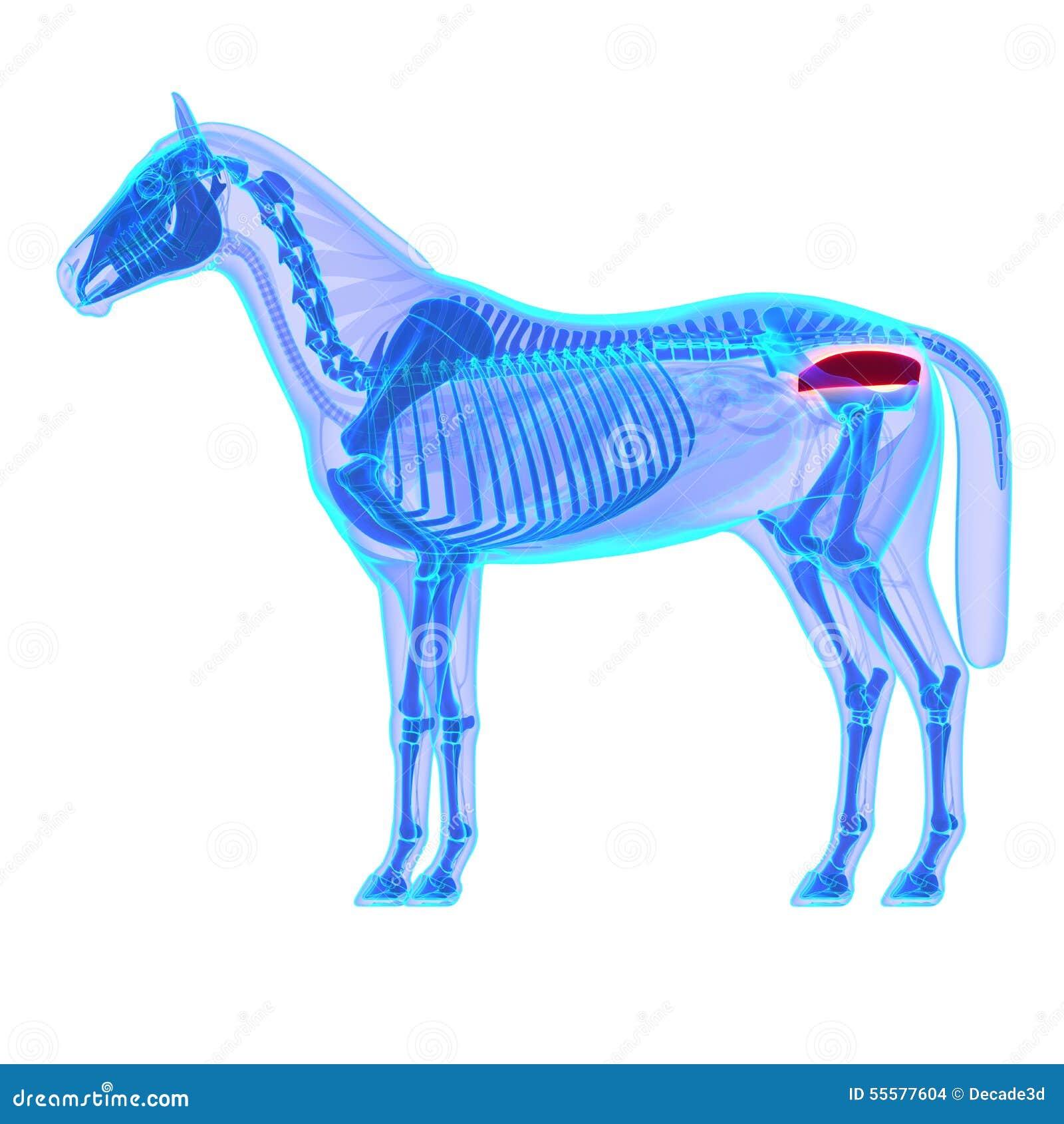 Recto Del Caballo - Anatomía Del Equus Del Caballo - Aislado En ...