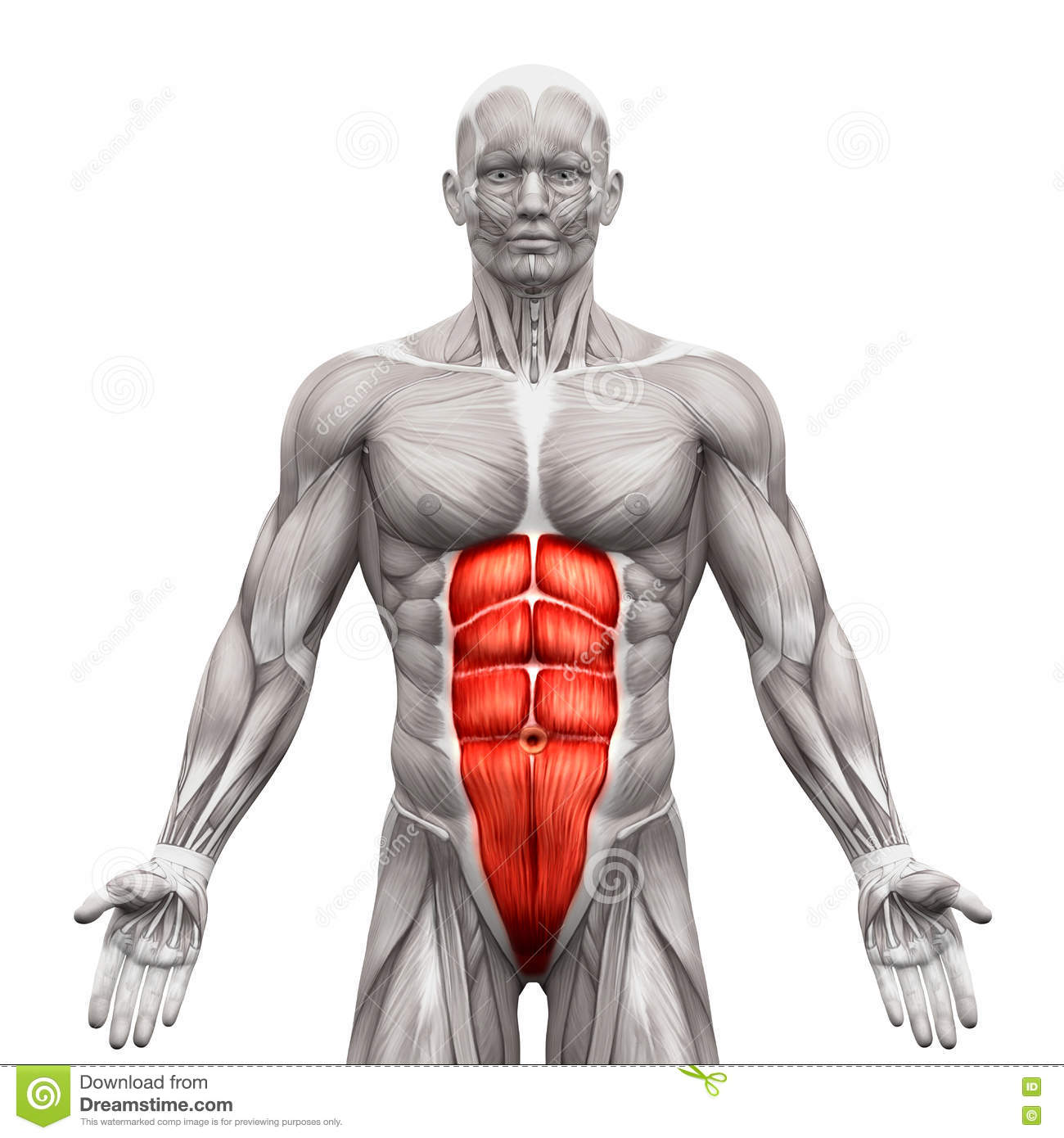 Rectus Abdominis Abdominal Muscles Anatomy Muscles Isolated