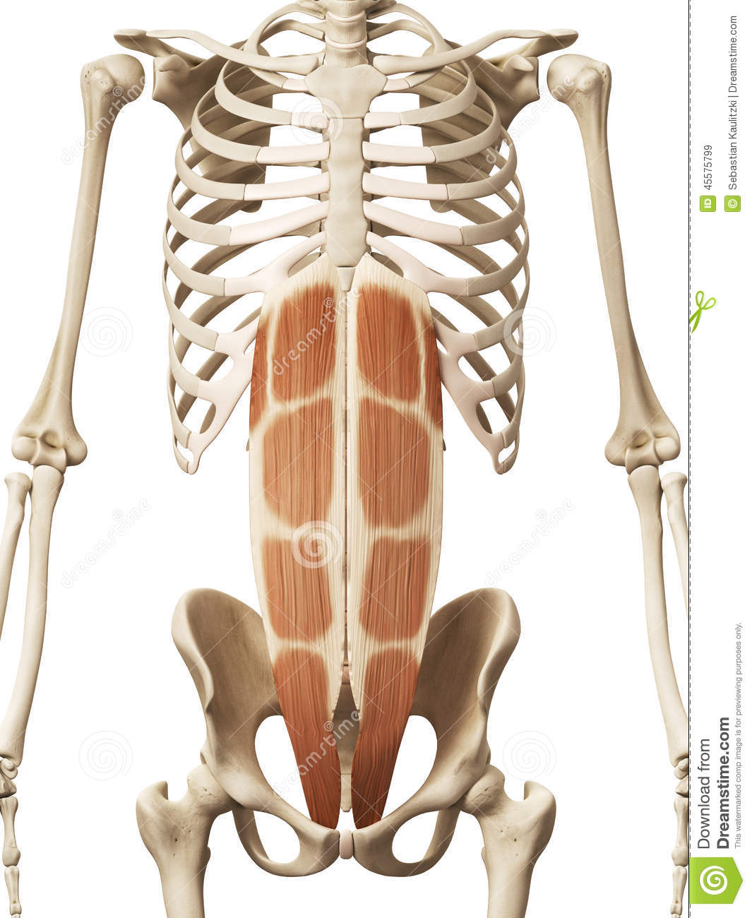 The Rectus Abdominis Stock Illustration Illustration Of Biology