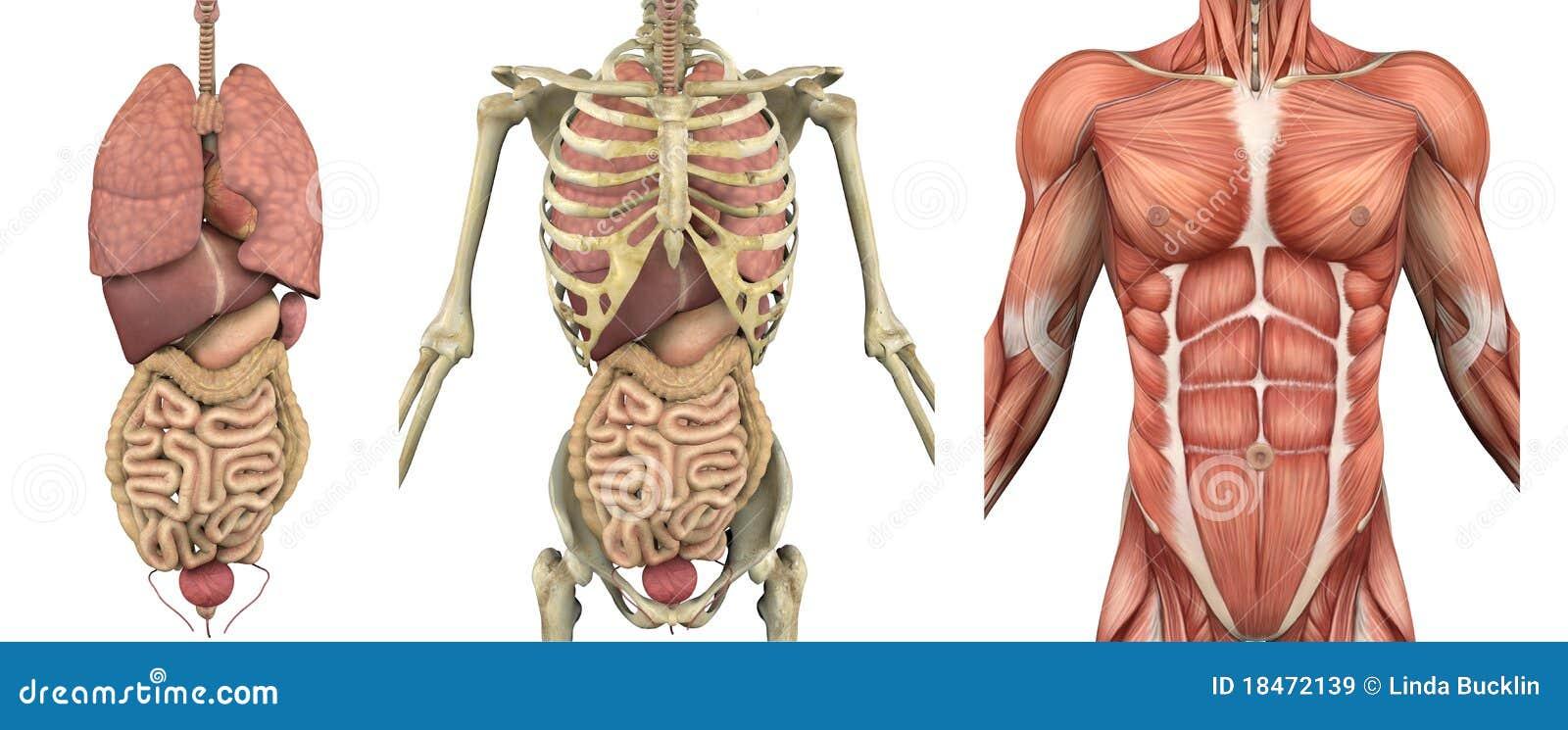 Recubrimientos Anatómicos - Torso Masculino Con Los órganos Stock de ...