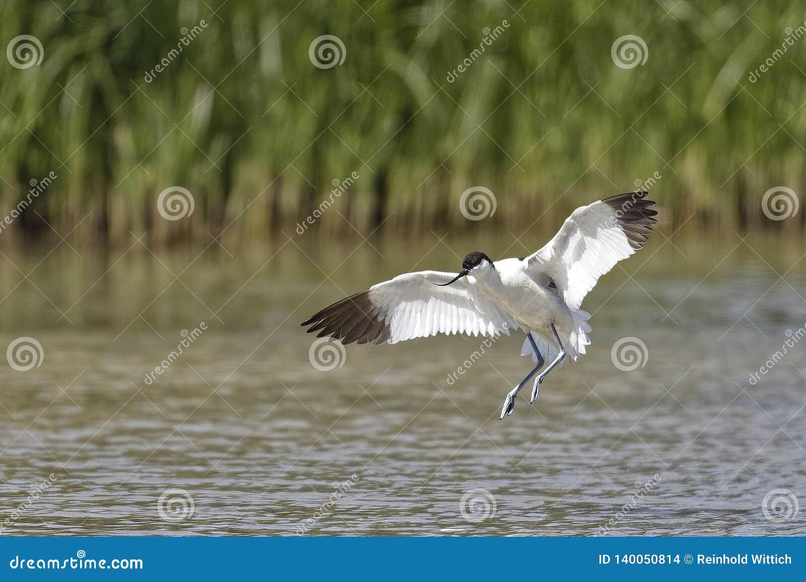 Recurvirostra avosetta, Avocet