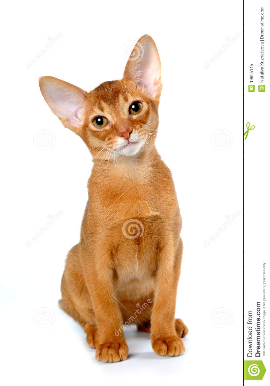Red Abyssinian Kitten Sits Isolated On White Stock Image - Image ...