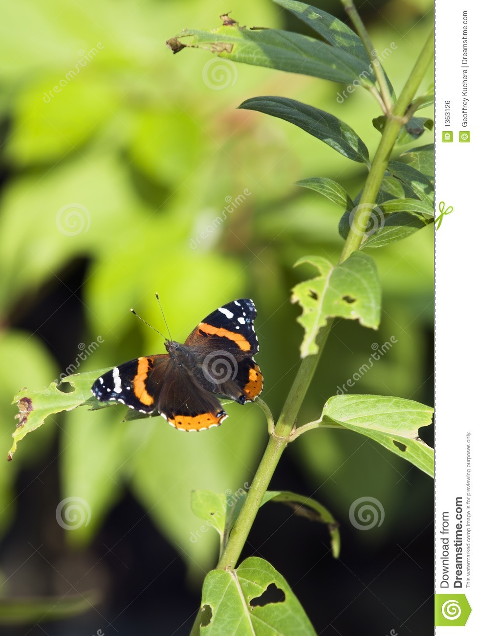 Red Admiral (Limenitis atalanta) Butterfly Vertical
