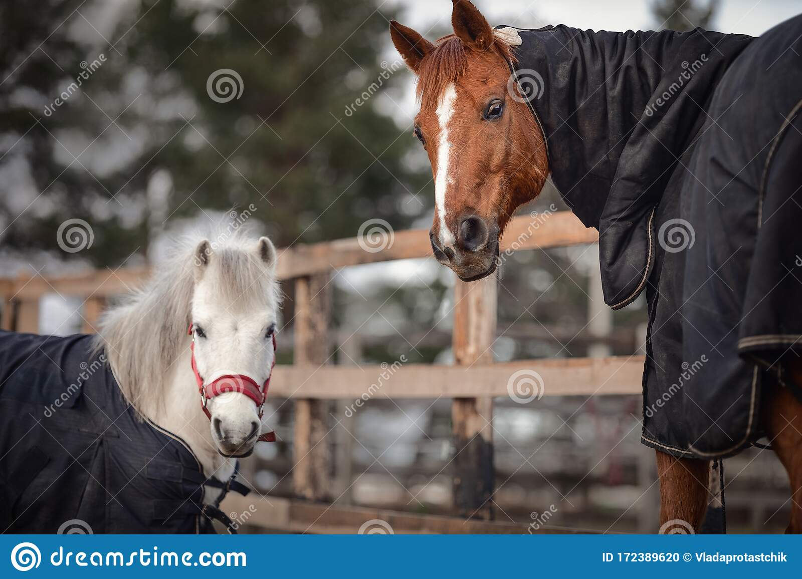 178 Horse Halters Photos Free Royalty Free Stock Photos From Dreamstime