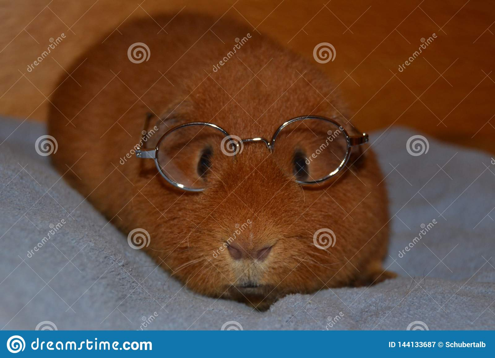 Teddy Guinea Pig with Glasses