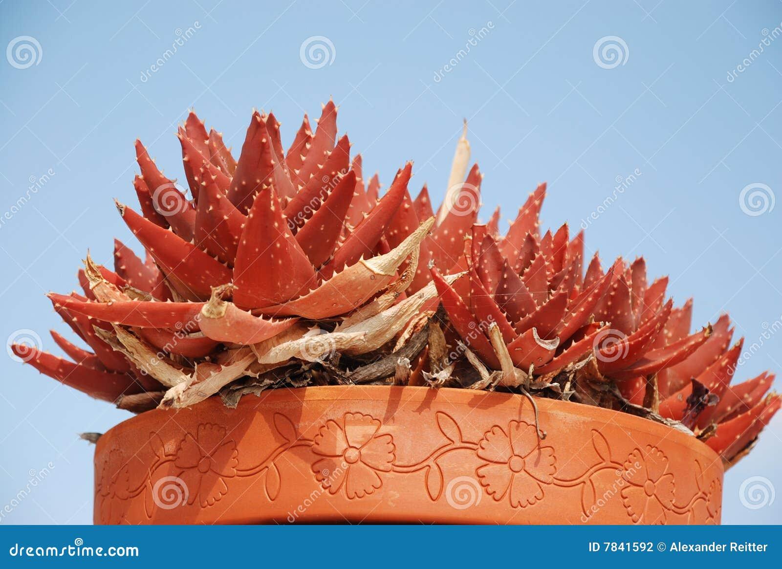 Red Aloe Vera Stock Photography - Image: 7841592: dreamstime.com/stock-photography-red-aloe-vera-image7841592