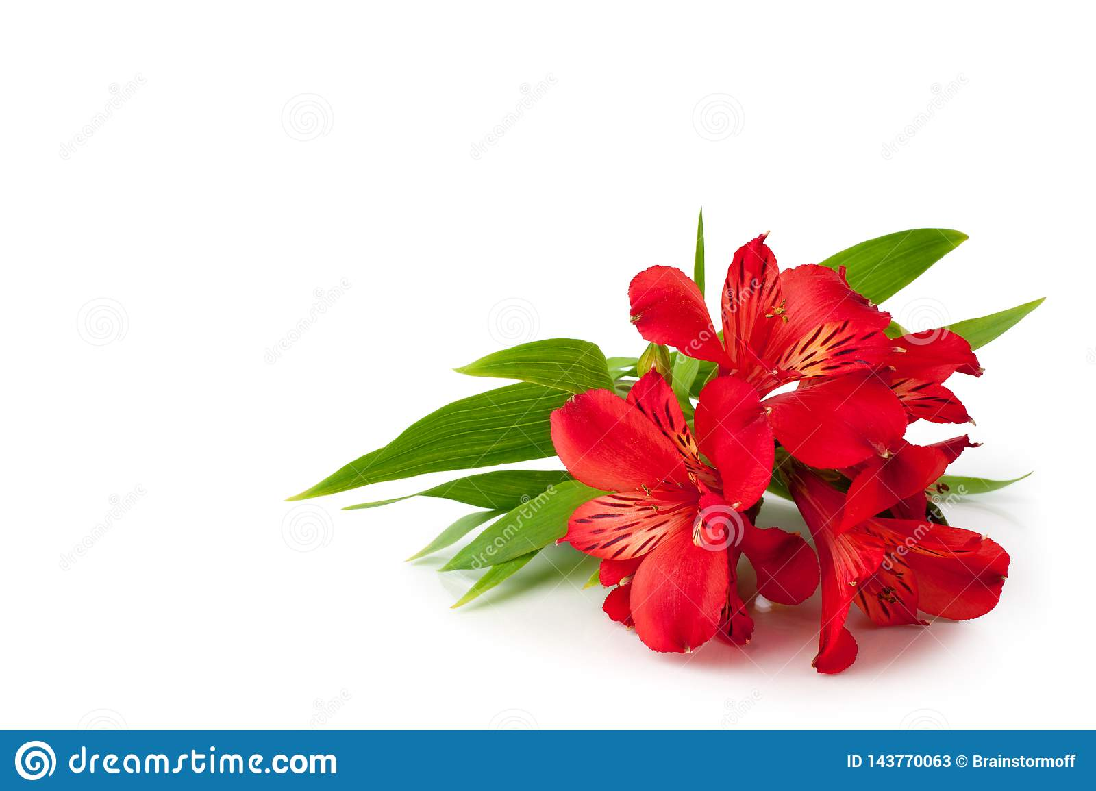 Red alstroemeria flowers on white background isolated closeup, bright pink lily flowers bunch for decorative border