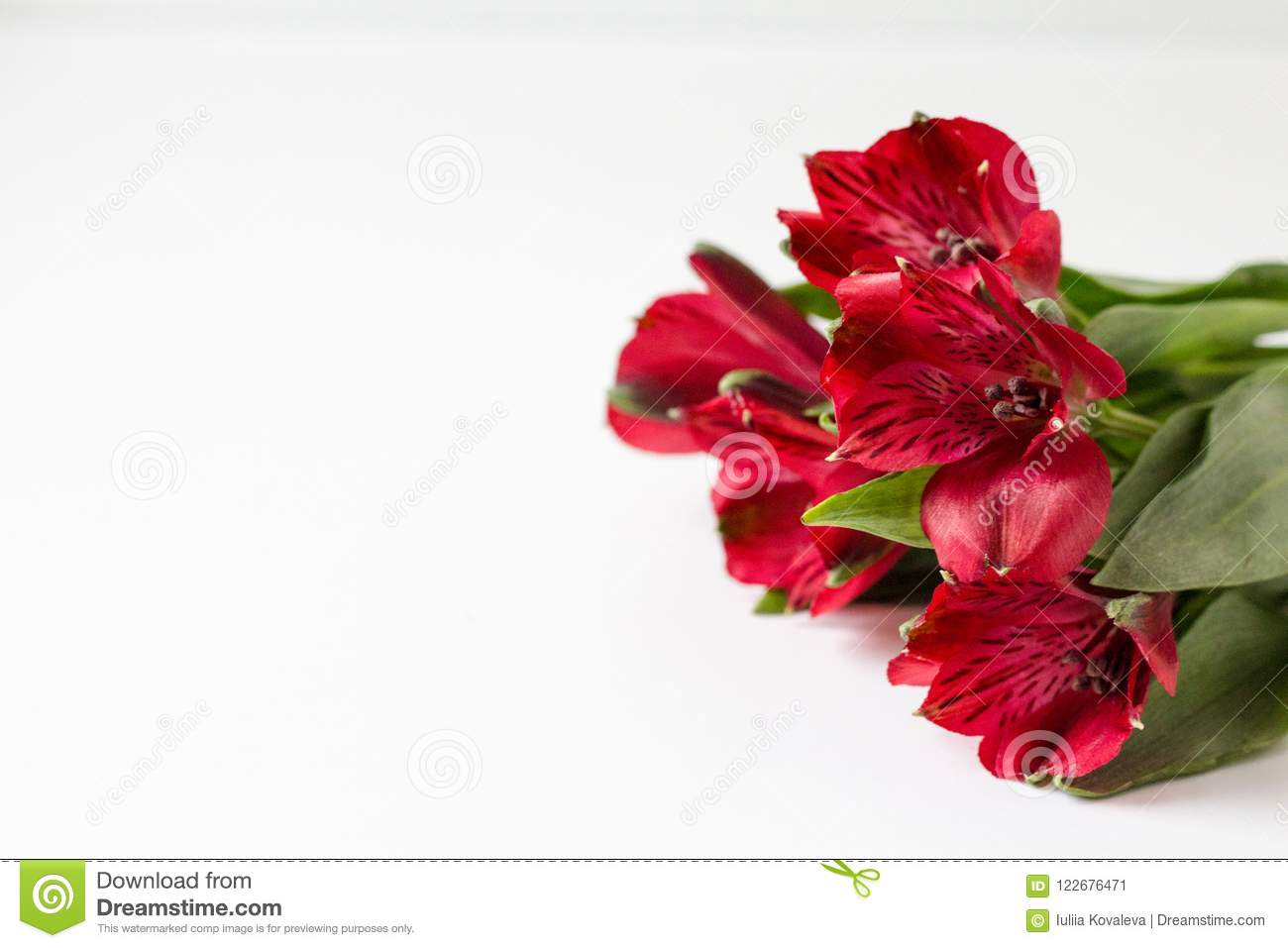 Red alstroemeria on a white background