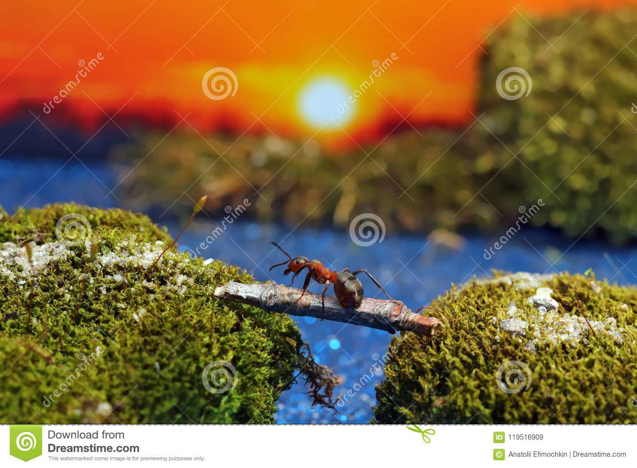 Download Red Ant Crosses The River On A Log Stock Image - Image of closeup, antenna: 119516909