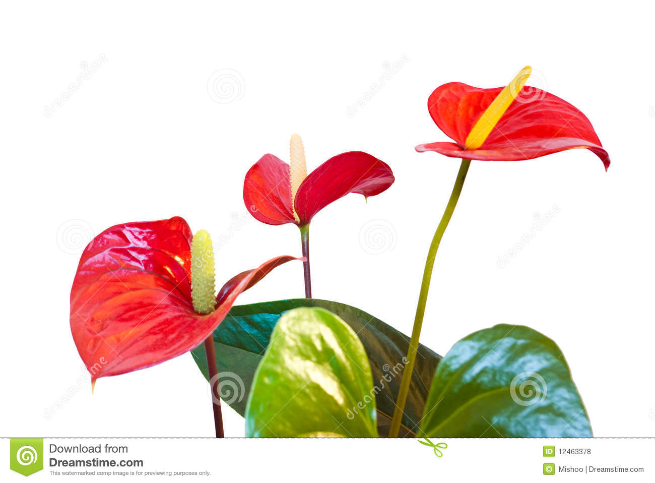 Red Anthurium Flowers Royalty Free Stock Photos Image 12463378