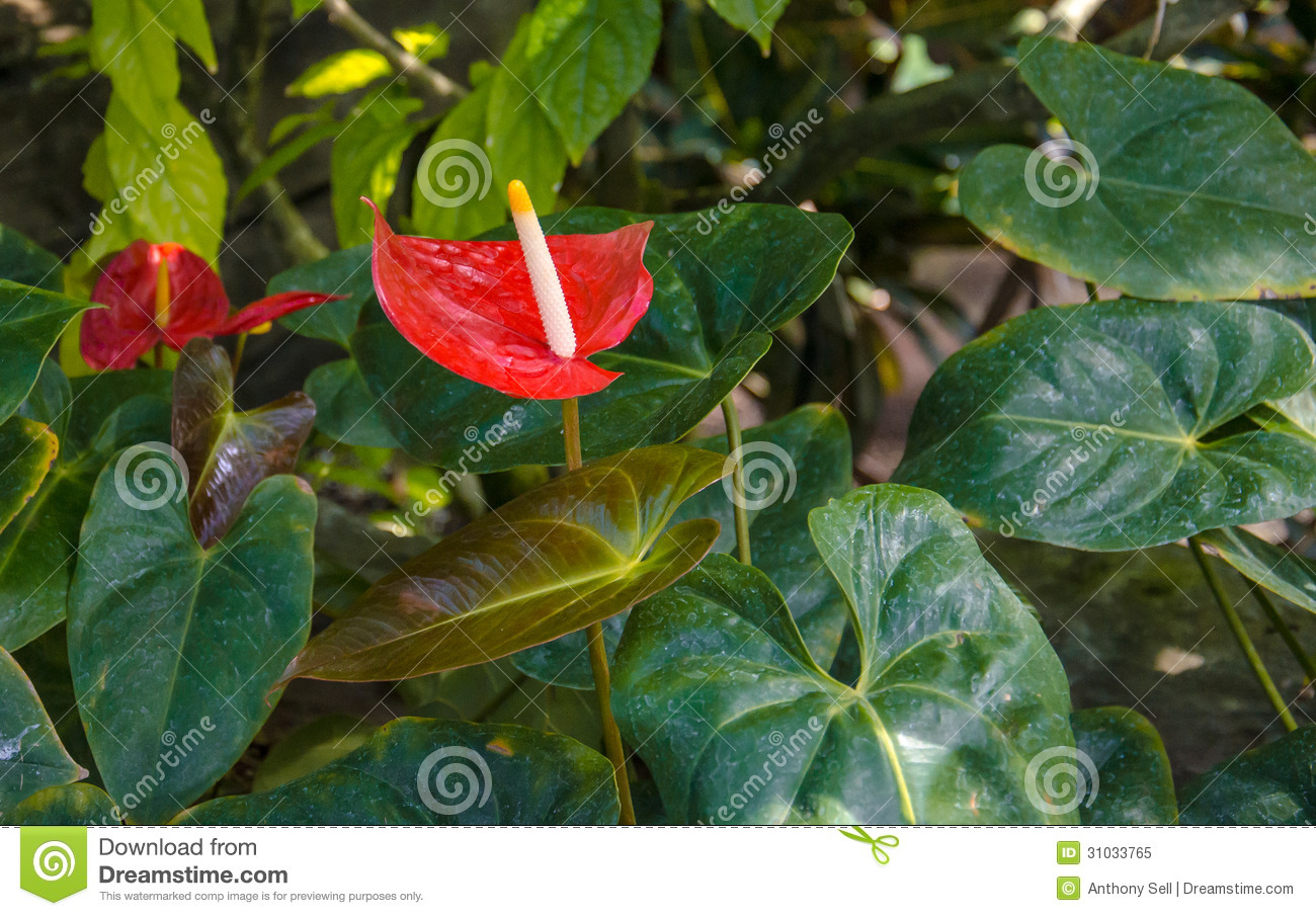 red anthurium royalty free stock photo  image, Natural flower
