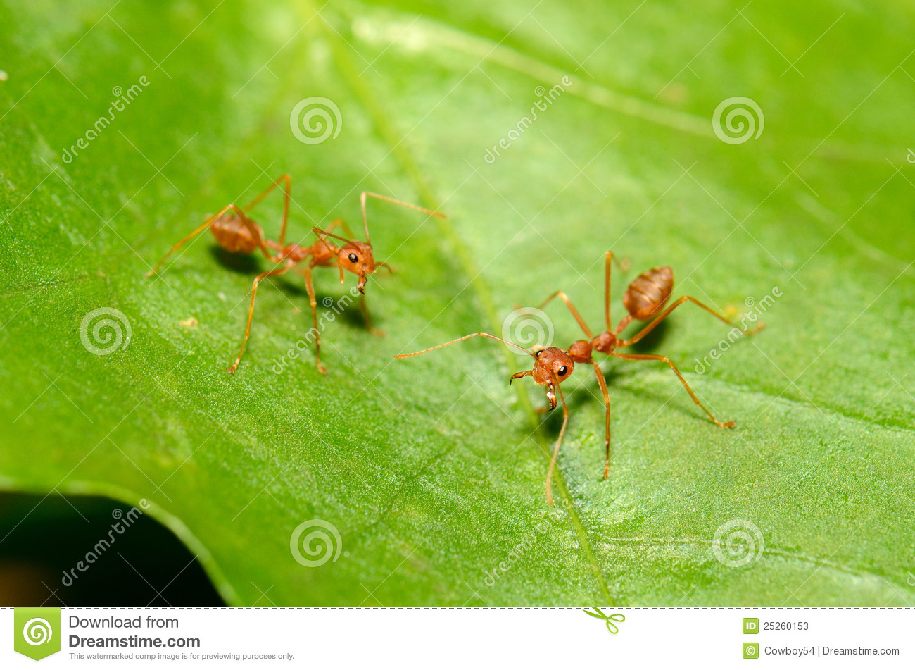 Download Red ants stock image. Image of natural, fabricius, green - 25260153