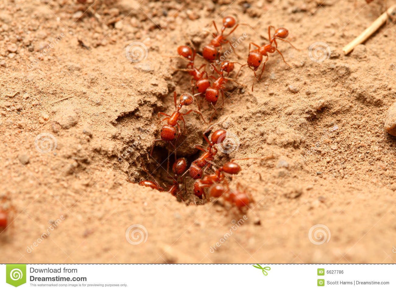 Red Ants Royalty Free Stock Image - Image: 6627836