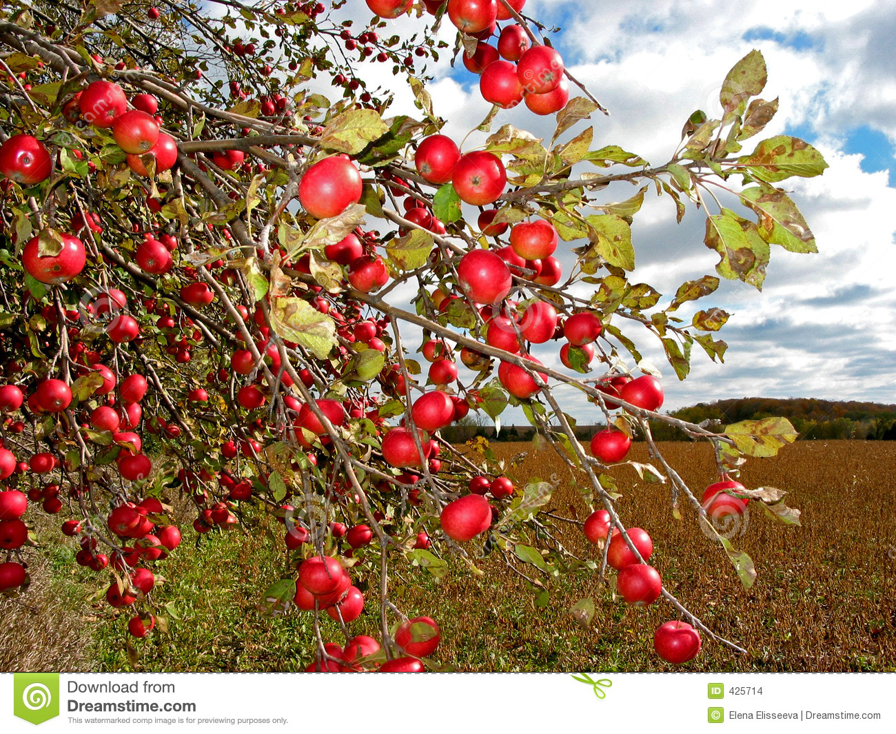 Red Apples On Apple Tree Stock Images Image 425714