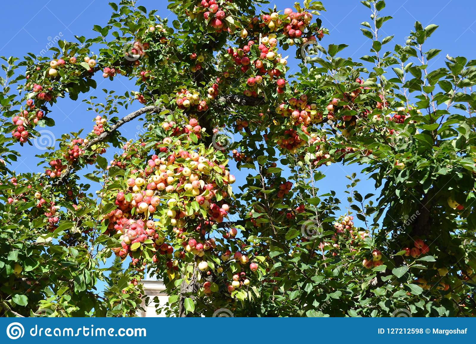 Red apples on apple tree branch, gardening, harvesting