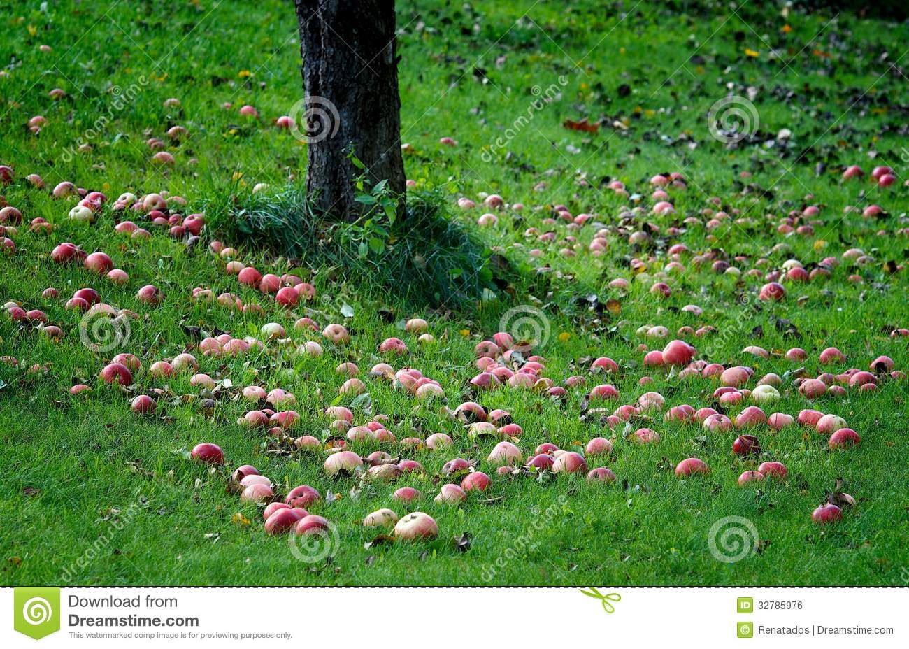 Red Apples On Green Grass, Apples On A Ground Under The ...