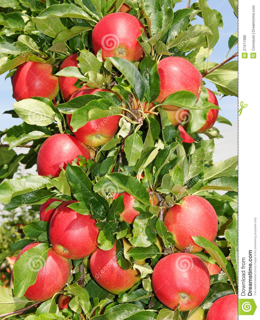 Red Apples On Tree Royalty Free Stock Image - Image: 27411386