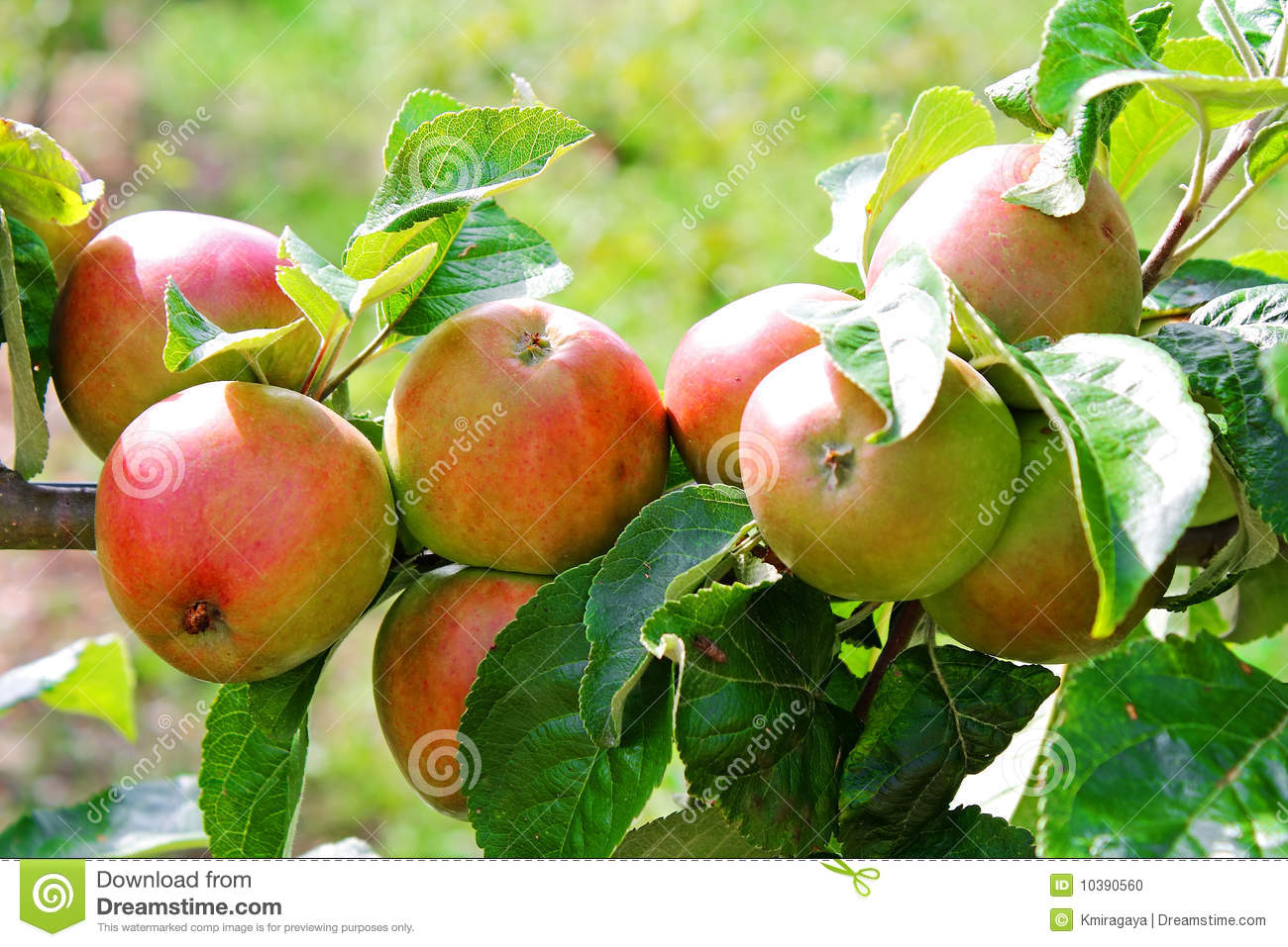 Red Apples In A Tree Branch Stock Photo - Image: 10390560