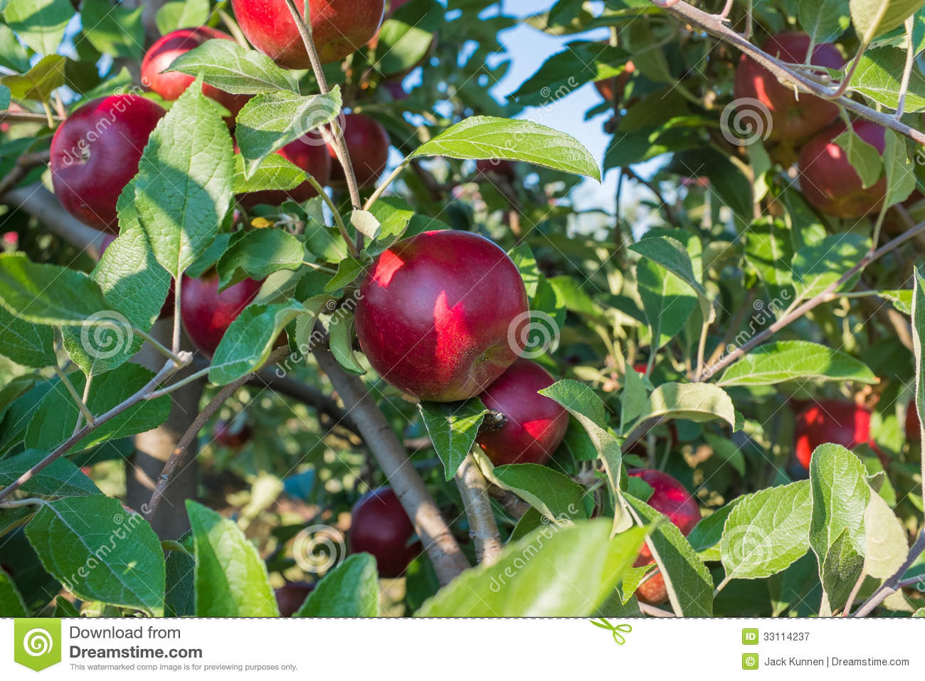 Red Apples On The Tree Royalty Free Stock Photography ...