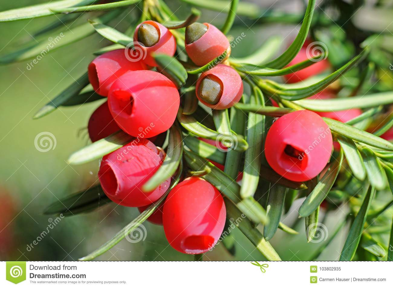 Red arils, fruits of a yew