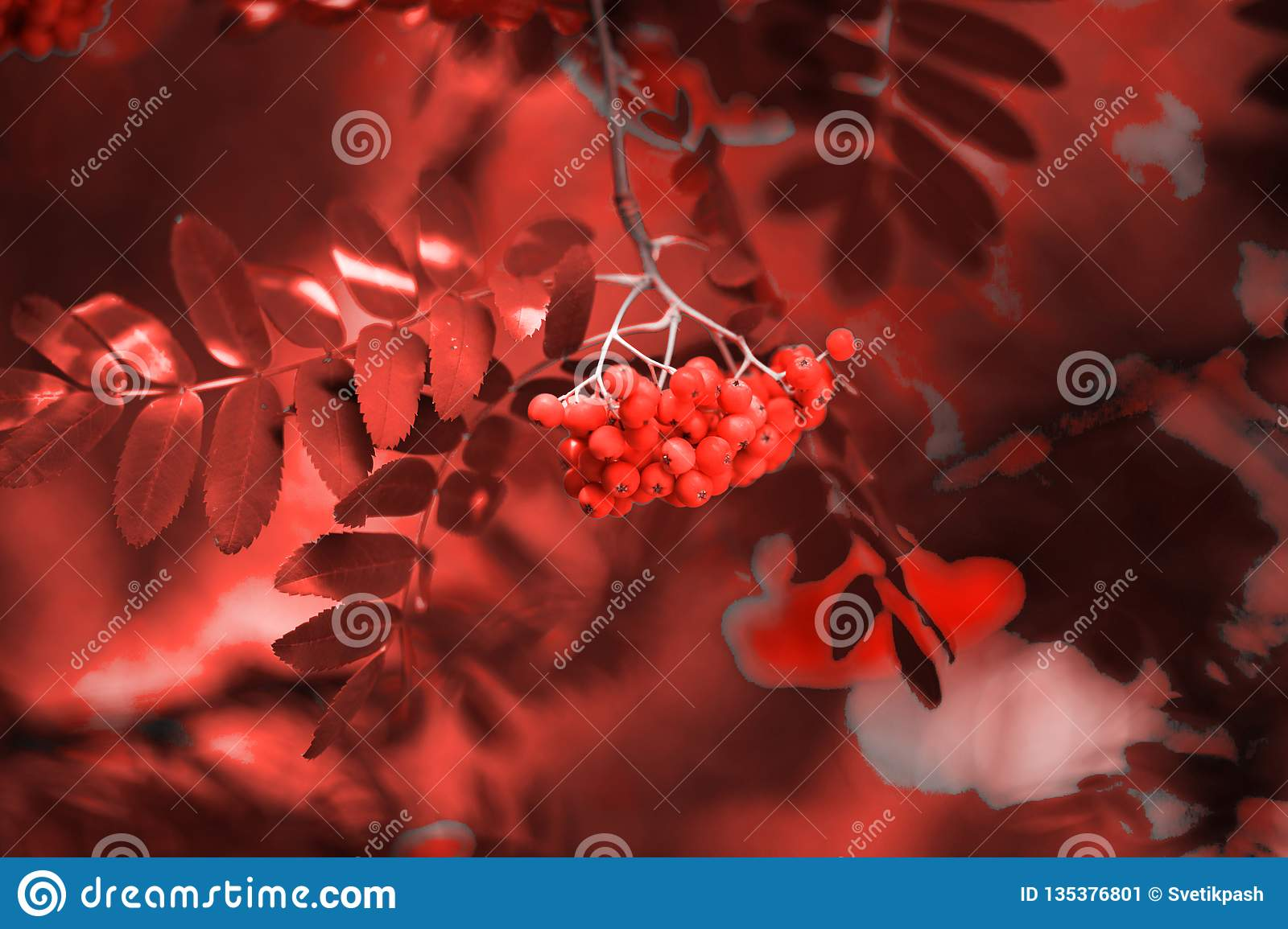Red ashberry for living coral background, phone or laptop wallpaper background. Toned nature background on theme of actual colors for this season - living ...