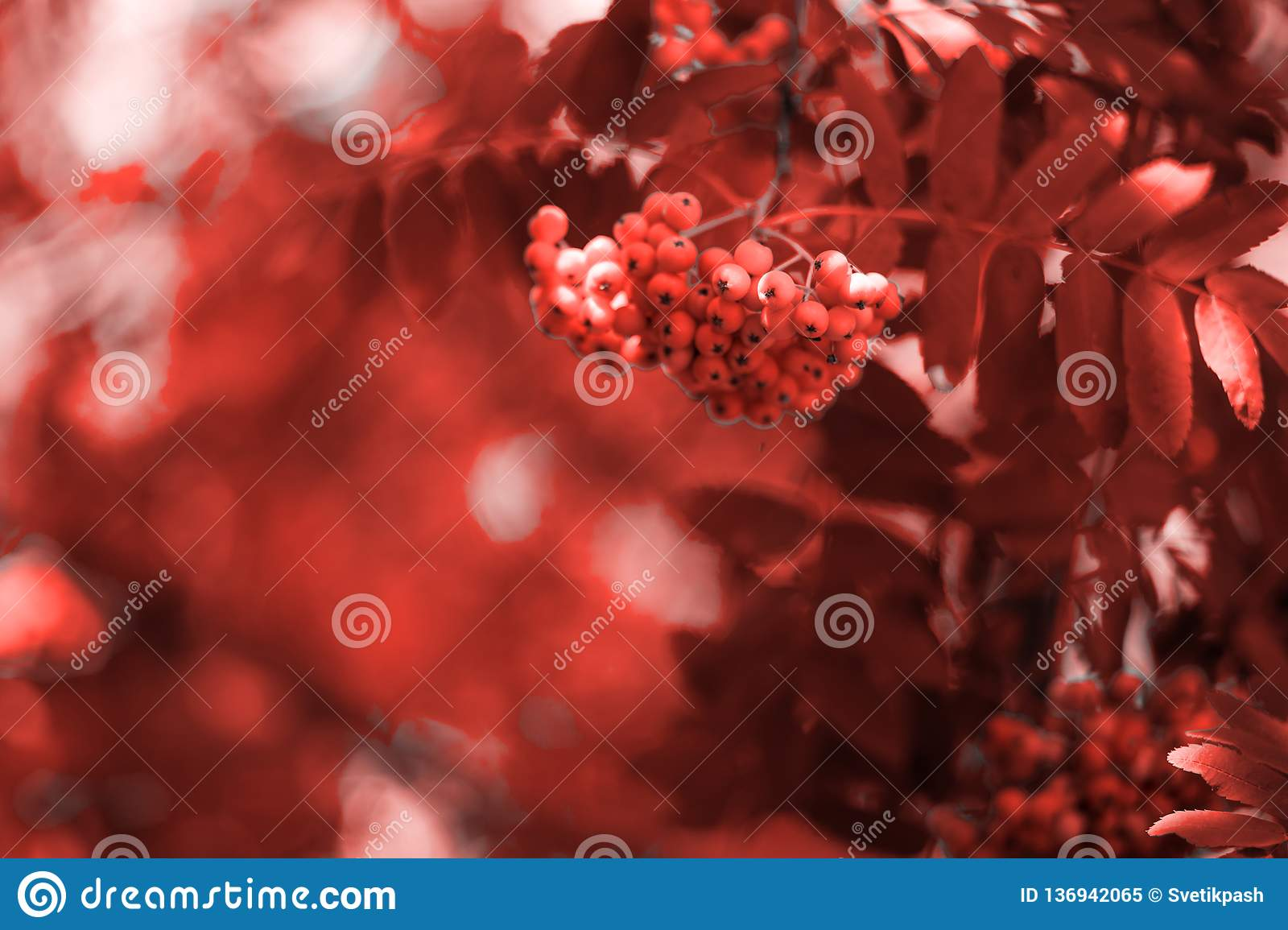 Red Ashberry Nature Background In Orange Toned Phone Or Laptop Wallpaper Background Stock Image Image Of Fresh Nature 136942065