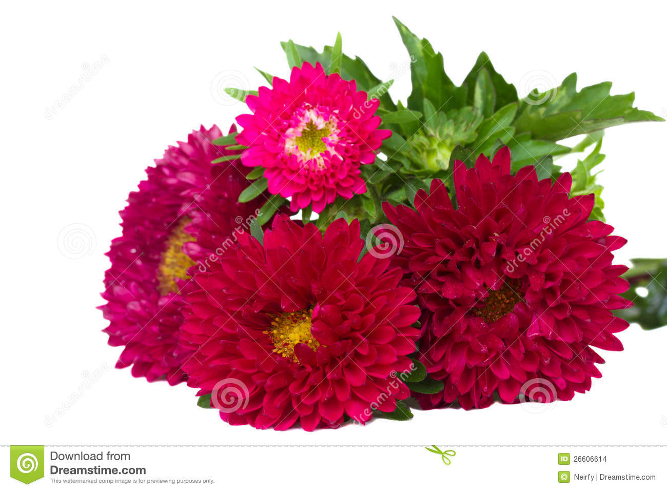 red aster flowers stock images  image, Beautiful flower