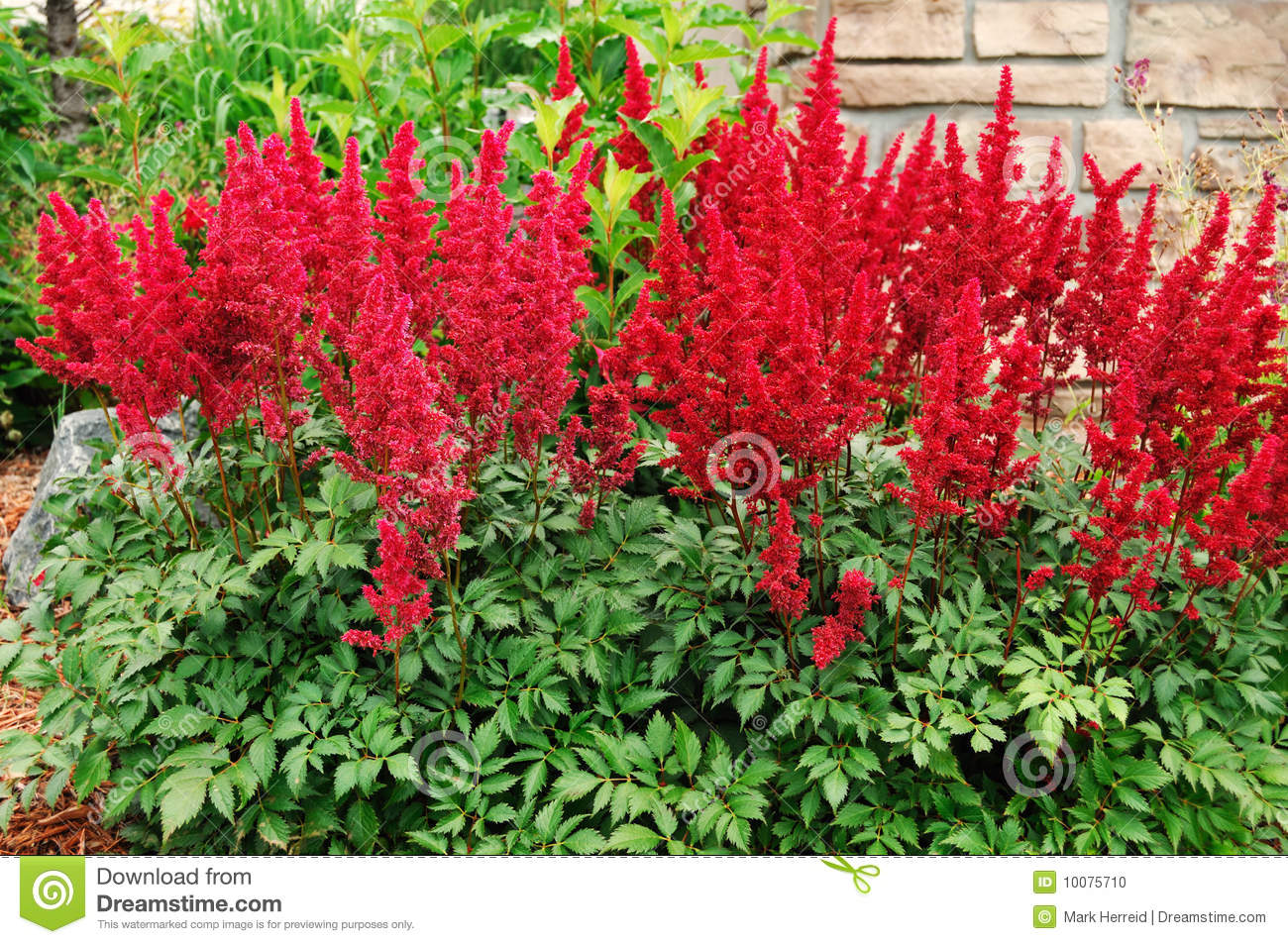 Red Astilbe False Spirea Stock Photo Image 10075710