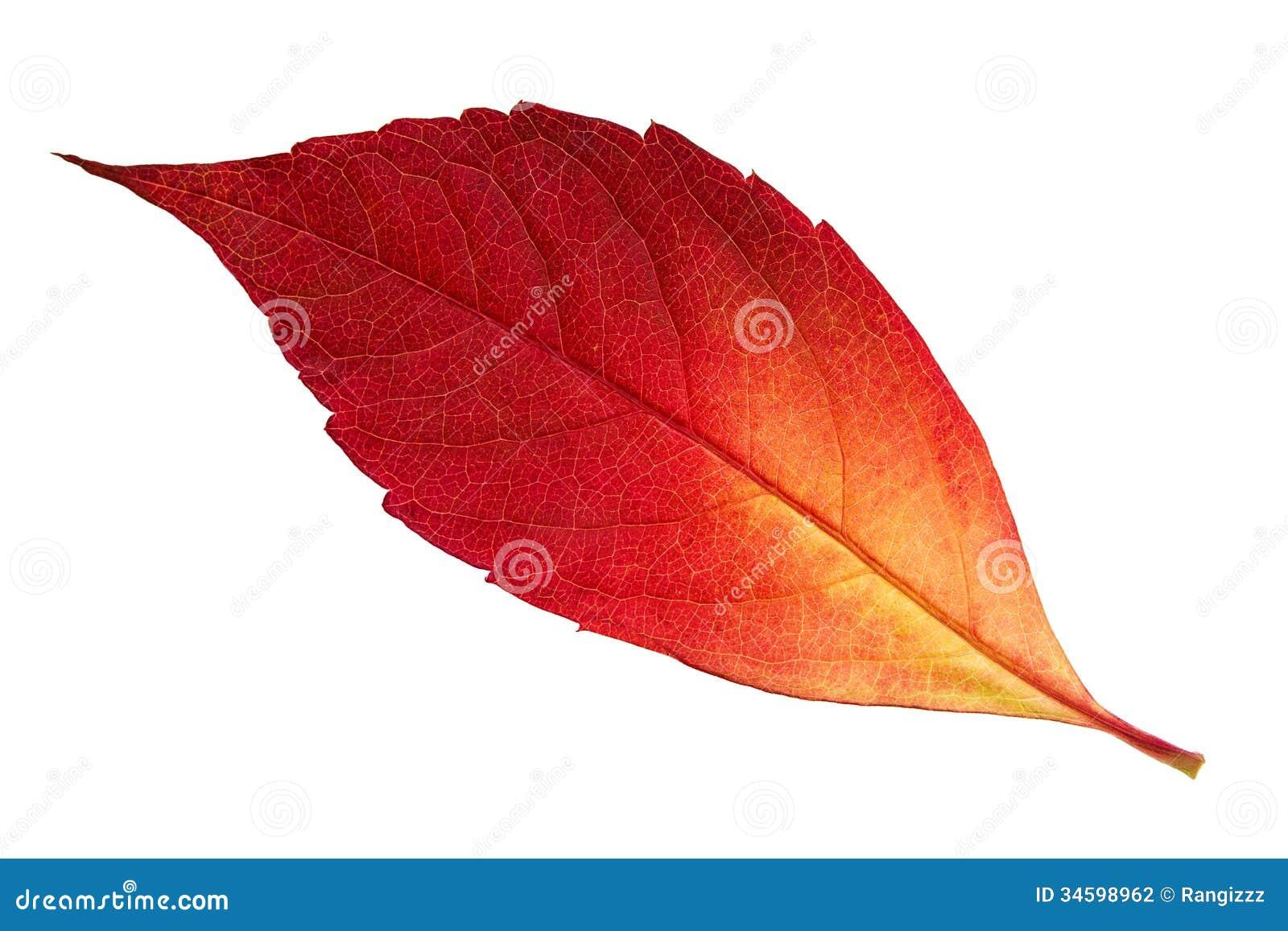 Close up of autumn leaf isolated on white background.
