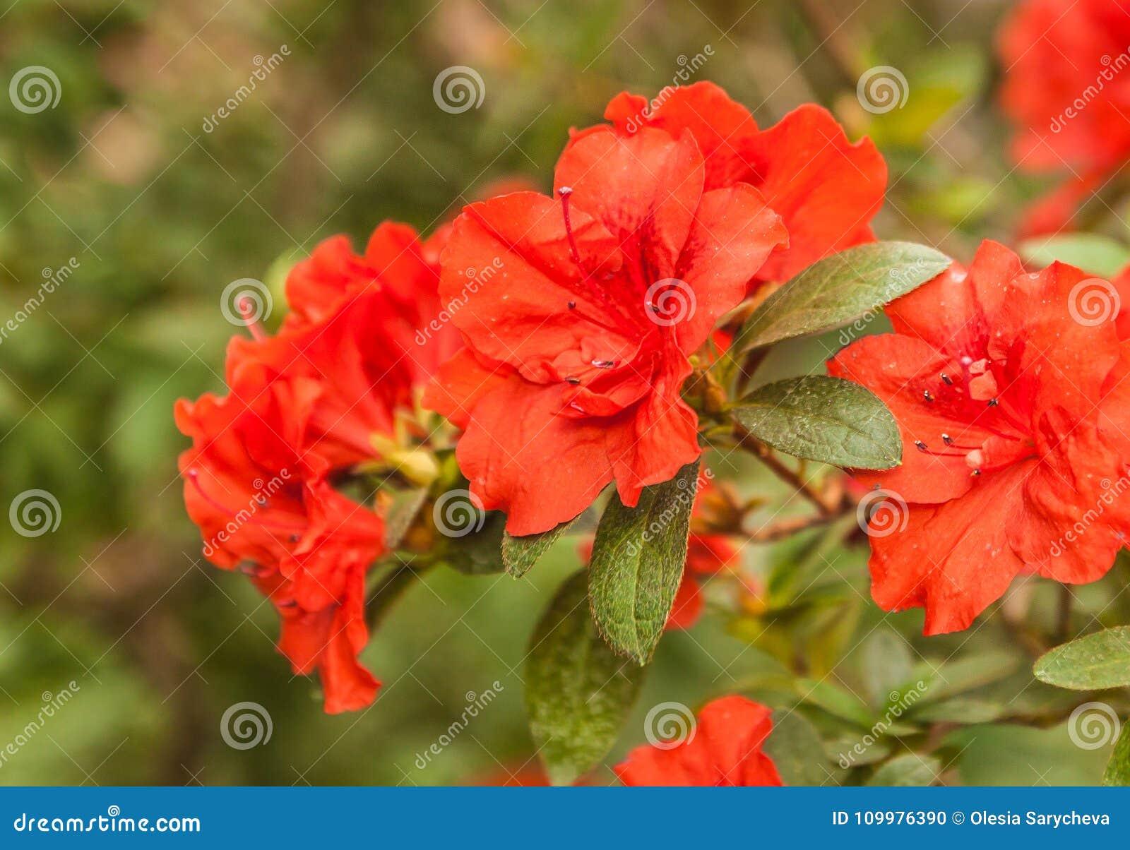 Red azalea rhododendron Appolo