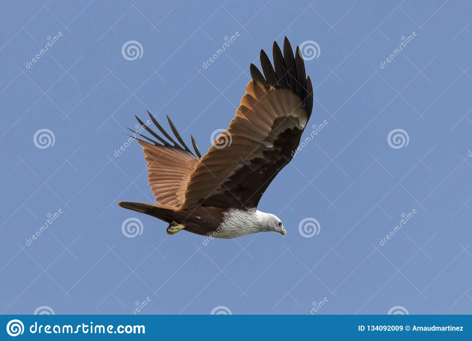 Red backed sea eagle in the sky from Kerala India