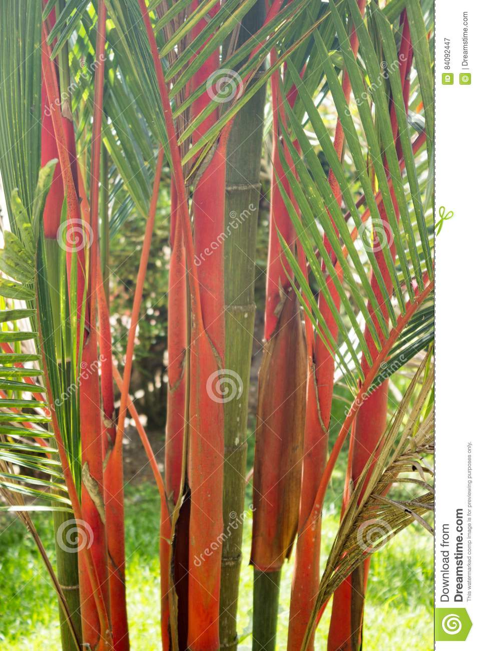 Red Bamboo Stock Image Image Of Leaves Green Stand 84092447