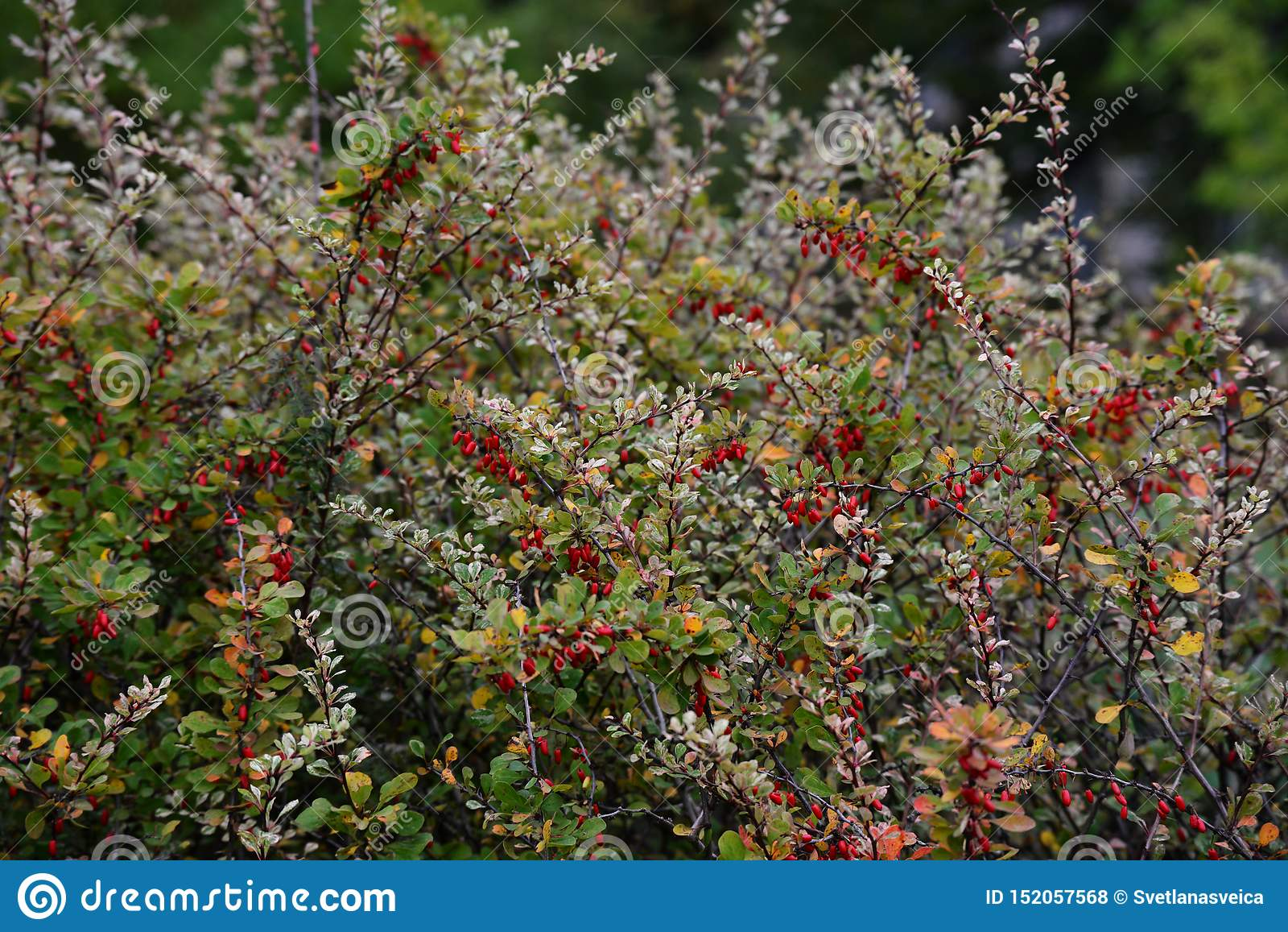 Red barberry berries on a bush with green orange yellow autumn leaves. Berberis thunbergii