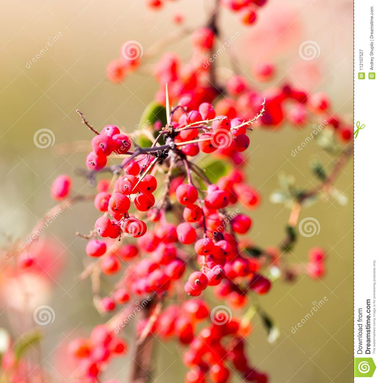 Red barberry on the nature