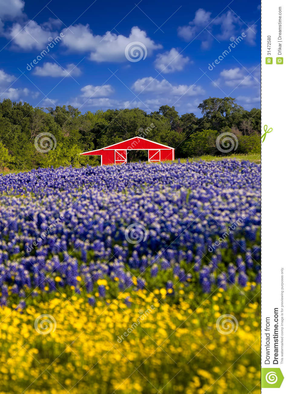 Red Barn In The Bluebonnet Field Stock Photo - Image: 31472580