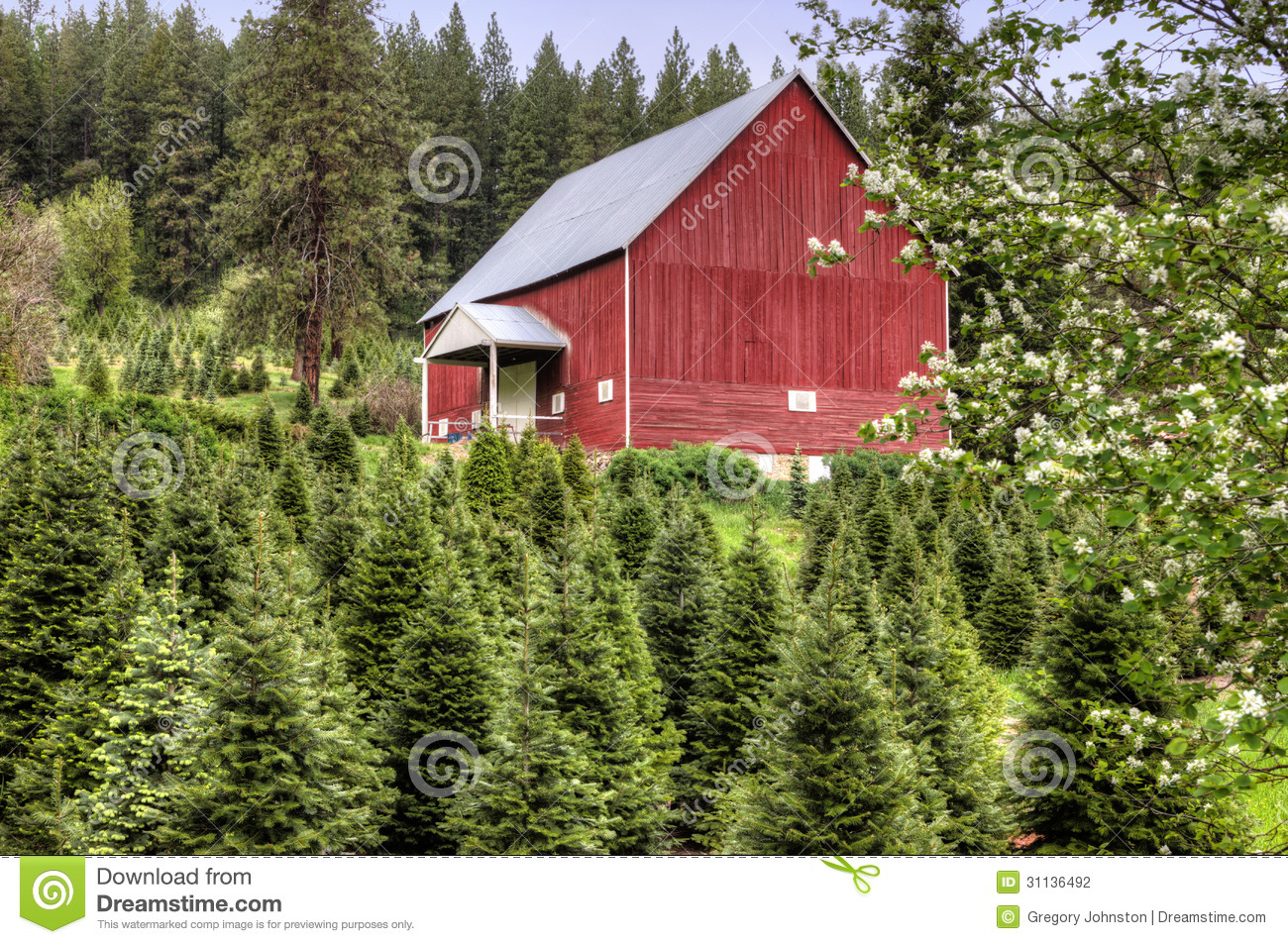 red barn christmas tree farm
