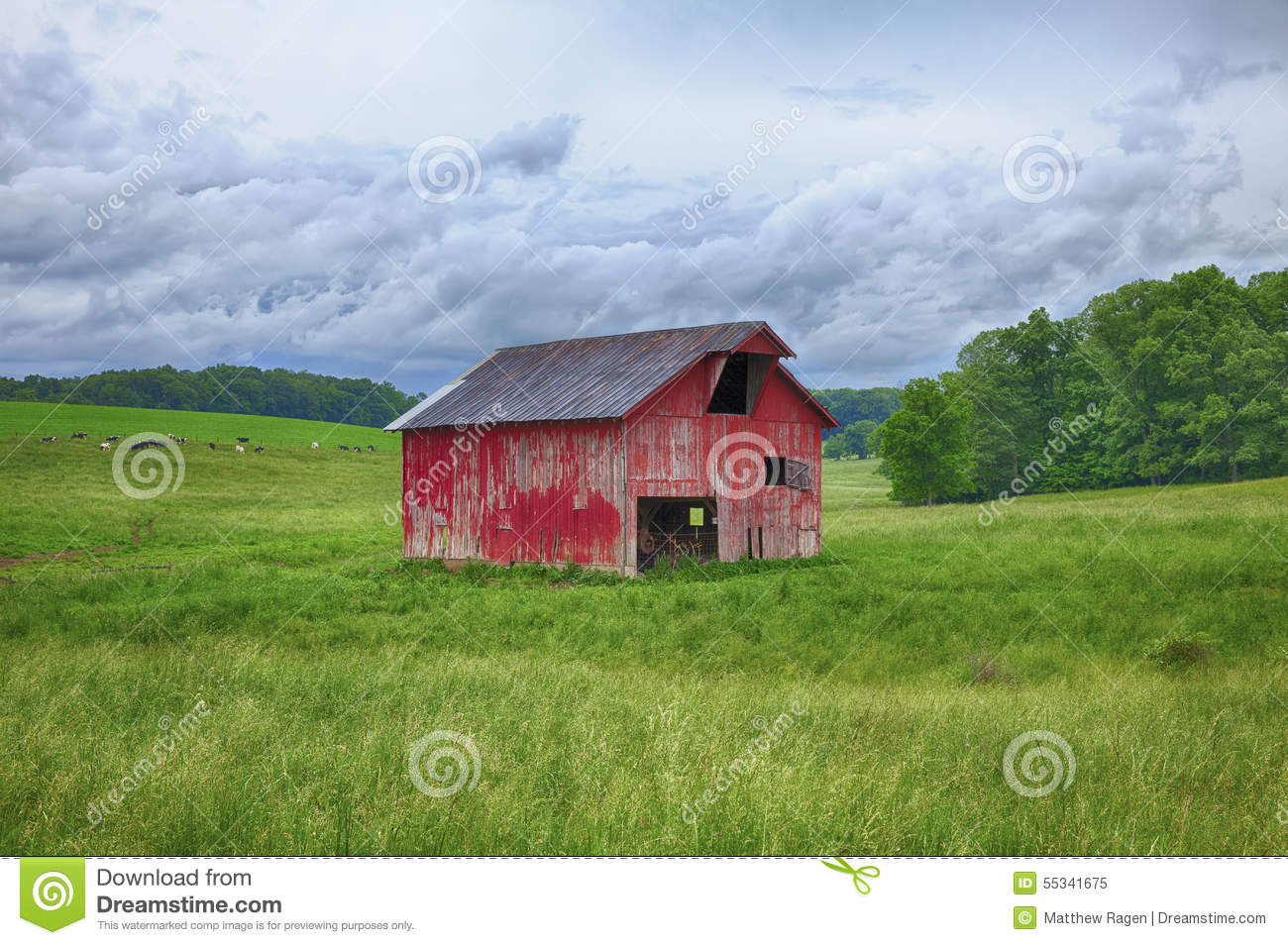 Cow on green pasture with red barn with grain silo royalty free stock - Royalty Free Stock Photo
