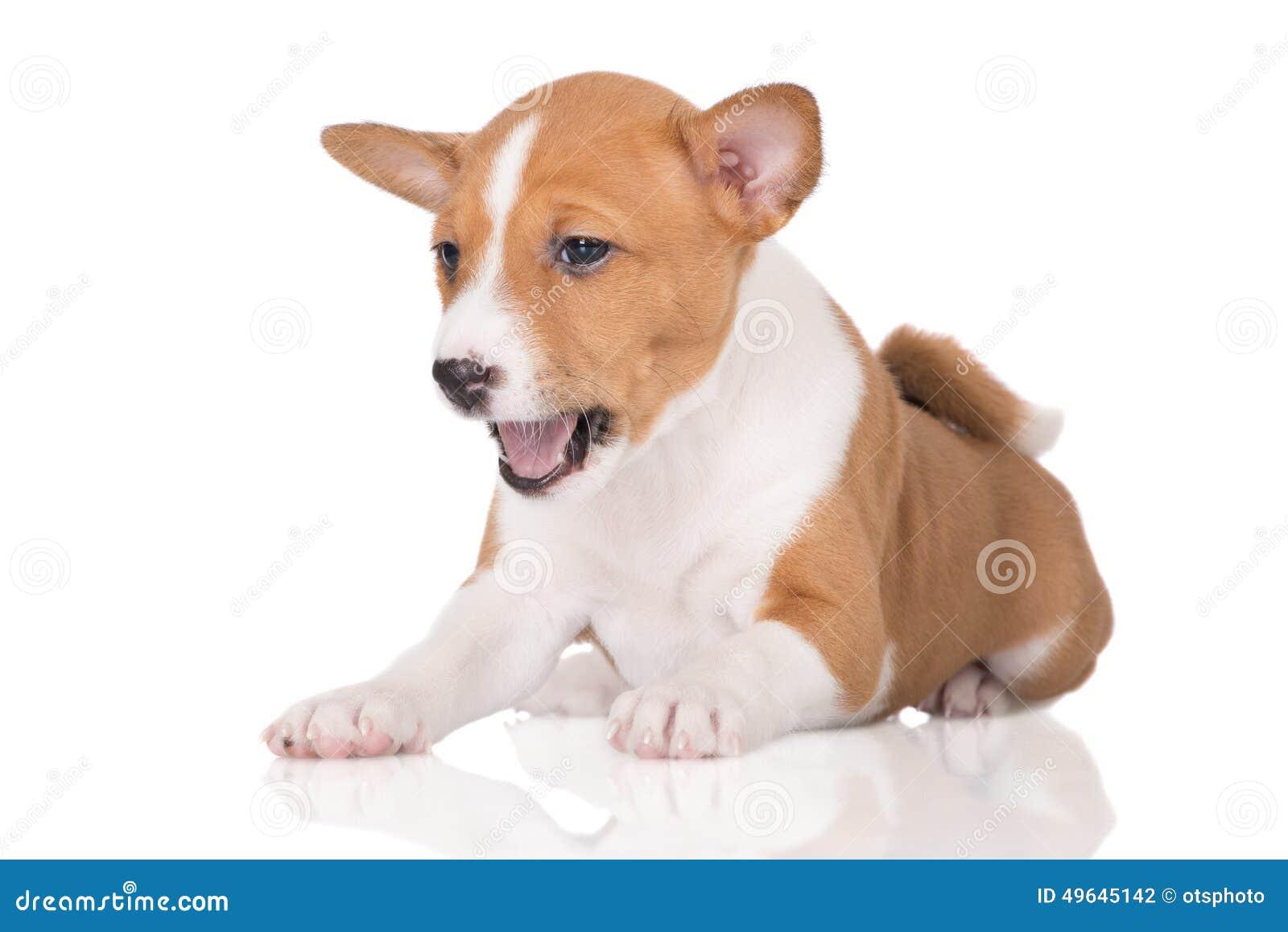 Red basenji puppy yawning stock photo. Image of lying ...