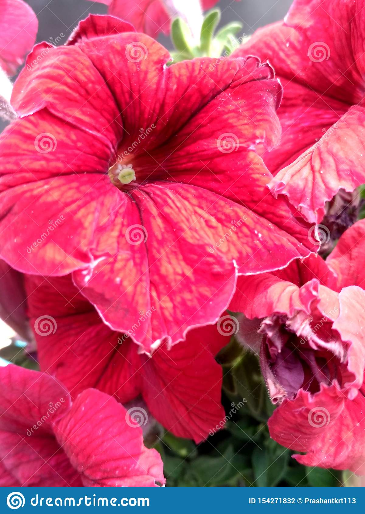 Red Beautiful Flower Hd Image Of Nature Morning Seen Stock Photo Image Of Colour Hdflowerimage 154271832