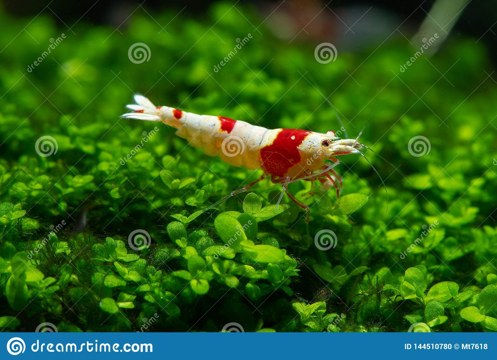 Red bee shrimp stay on grass or aquatic moss with dark and green background