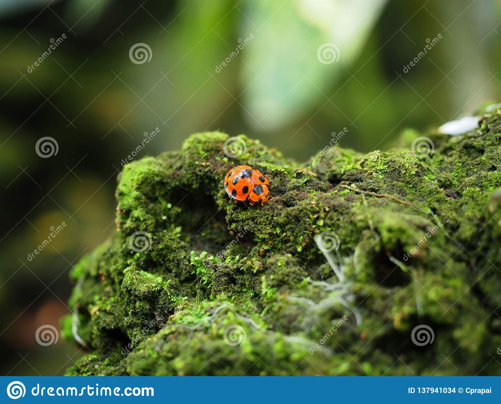 Red beetle bug walking on a rock that coverd in green fungus and moss. Selected focus