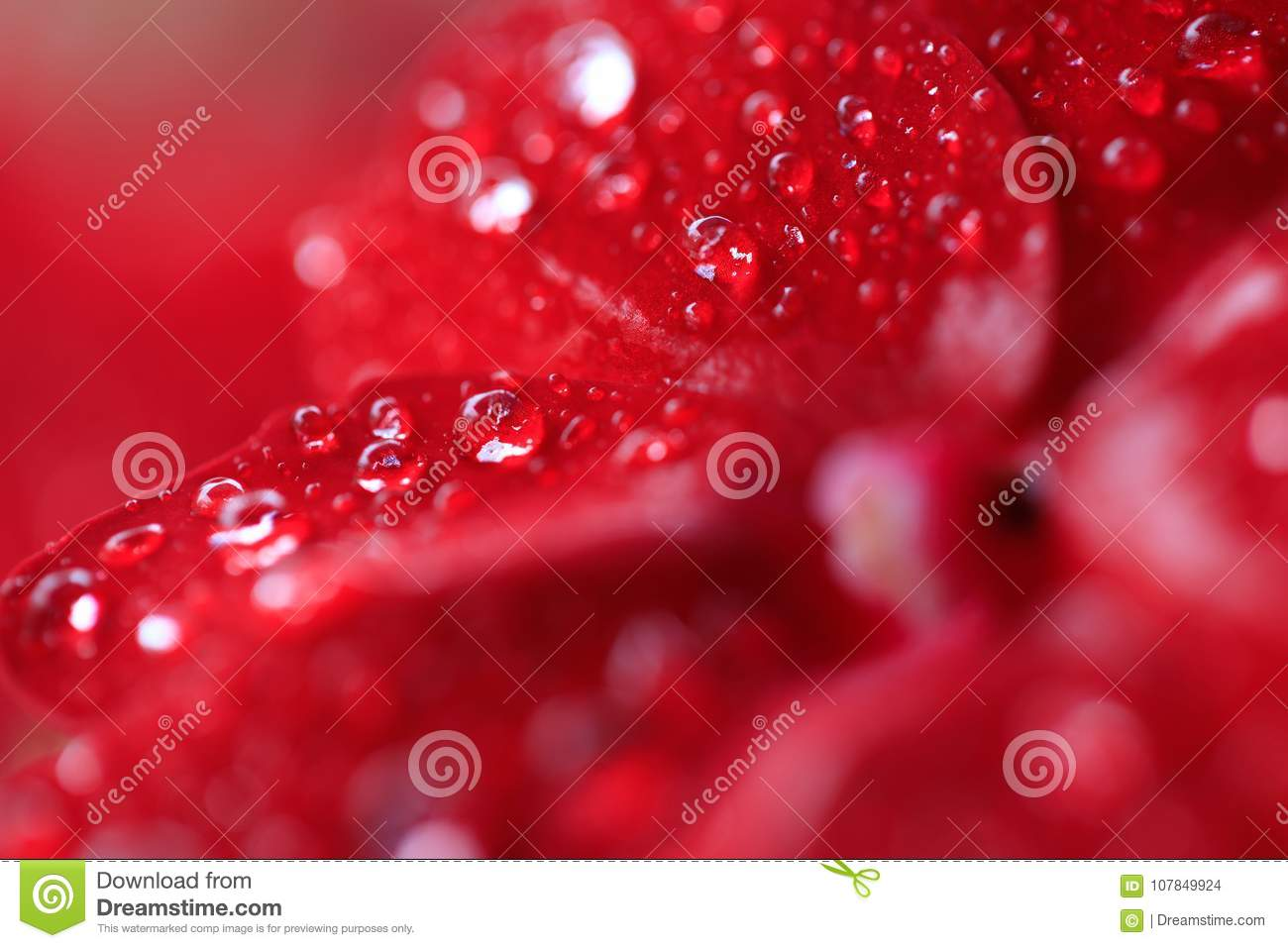 Red Begonia flowers with rain drops. Blurred Begonia background with water drops closeup. Nature. Environment concept. Macro shot.