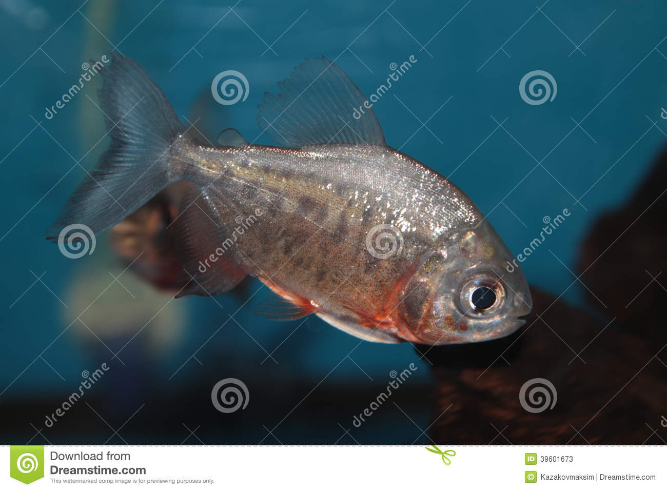 Red-bellied Pacu Freshwater Aquarium Fish Stock Image
