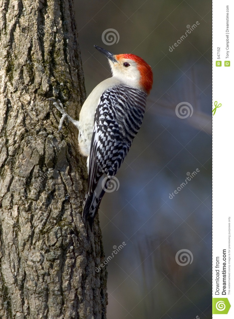 Download Red Bellied Woodpecker Clinging To A Tree Stock Photo - Image of illinois, hard: 547152