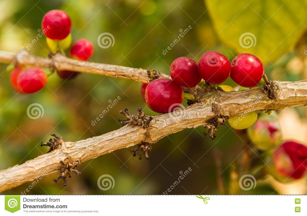 Red Berries Coffee Beans Ripen. Stock Image - Image of grow, berry ...