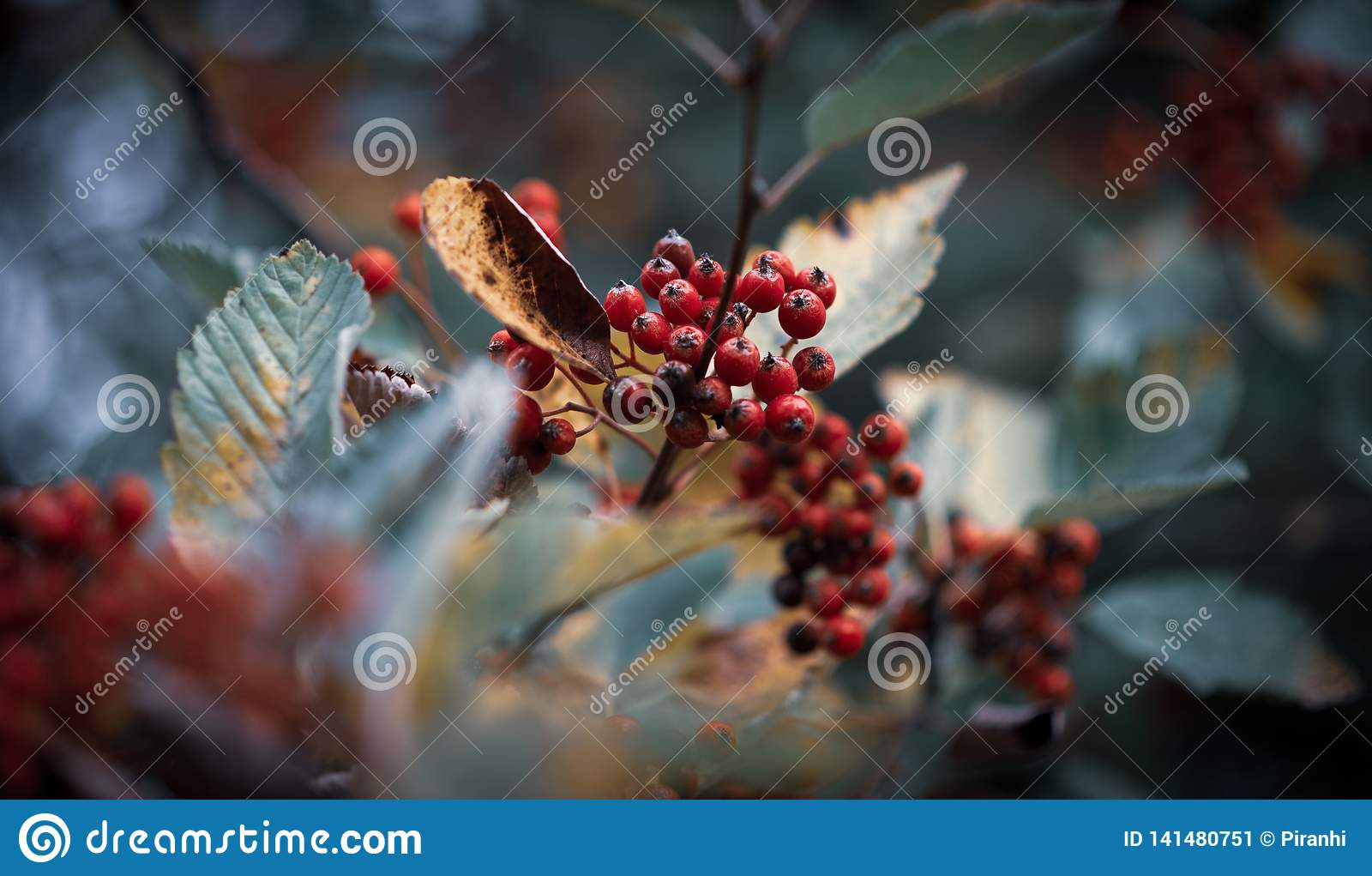 Red berries on a cold background surrounded by leaves in Winter