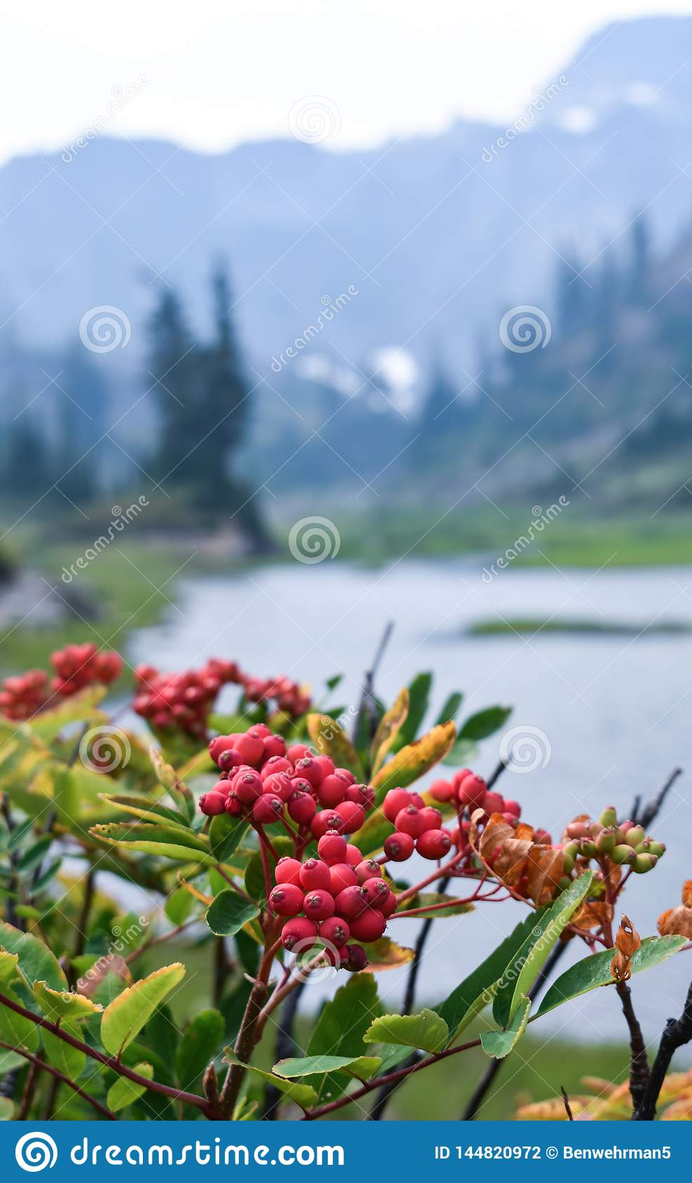 Red Berries Growing by a Lake